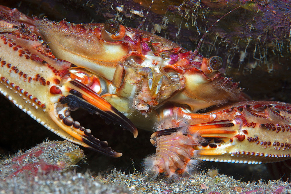 Swimming crab (Cronius ruber). Newly cited species in the Canary Islands (2015). Due to its large number of observations it is considered invasive. Marine invertebrates of the Canary Islands, Tenerife.