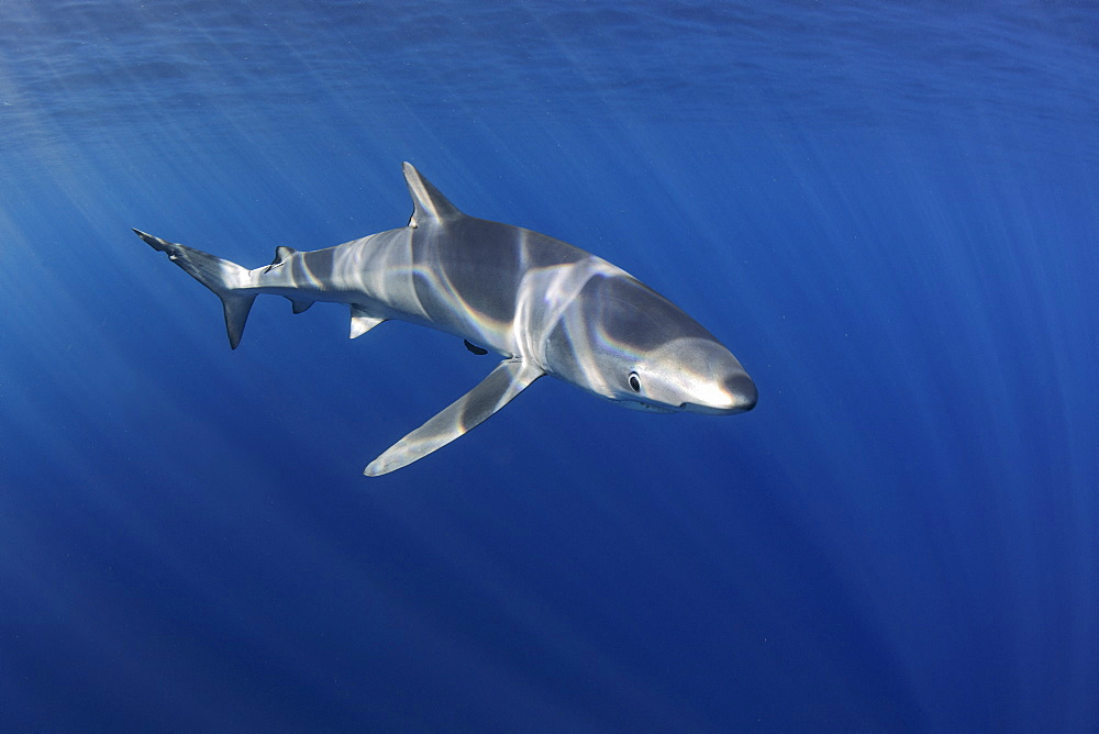 Blue shark (Prionace glauca). North Atlantic Ocean, Canary Islands.