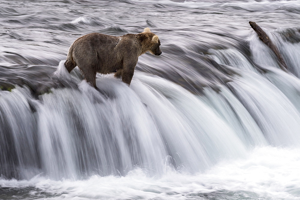 Grizzly bear (Ursus arctos horribilis), Brooks Falls, Katmai National Park, Alaska, USA