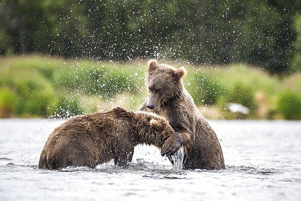 Grizzly bear (Ursus arctos horribilis) two subadults play-fighting in river, Brooks River, Katmai National Park, Alaska, USA