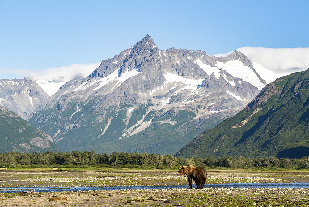 Grizzly bear (Ursus arctos horribilis) in front of mountains, Katmai National Park, Alaska, USA