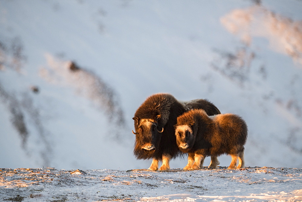 Musk Ox (Ovibos moschatus), mother with calf, winter, Dovrefjell-Sunndalsfjella-Nationalpark, Norway
