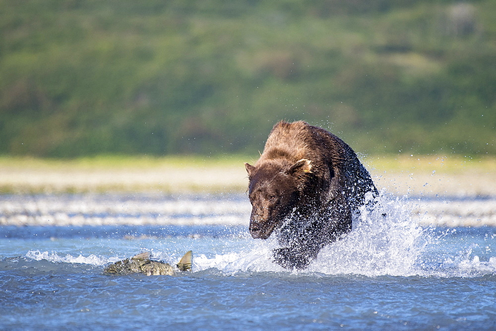 Grizzly bear (Ursus arctos horribilis) chasing Salmon, Katmai National Park, Alaska, USA
