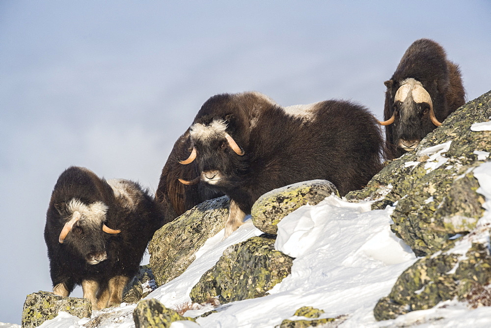 Musk Ox (Ovibos moschatus), group on mountain ridge, winter, Dovrefjell-Sunndalsfjella-Nationalpark, Norway
