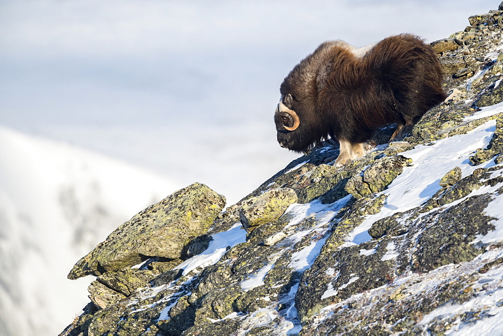 Musk Ox (Ovibos moschatus), bull in mountains, winter, Dovrefjell-Sunndalsfjella-Nationalpark, Norway