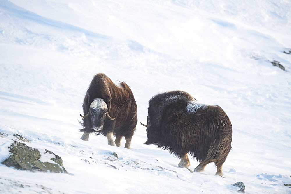 Musk Ox (Ovibos moschatus), two bulls, winter, Dovrefjell-Sunndalsfjella-Nationalpark, Norway