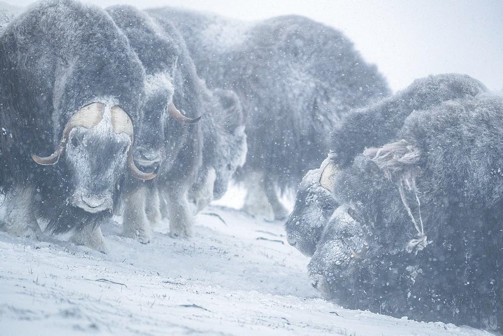 Musk Ox (Ovibos moschatus), bulls in snowstorm, winter, Dovrefjell-Sunndalsfjella-Nationalpark, Norway