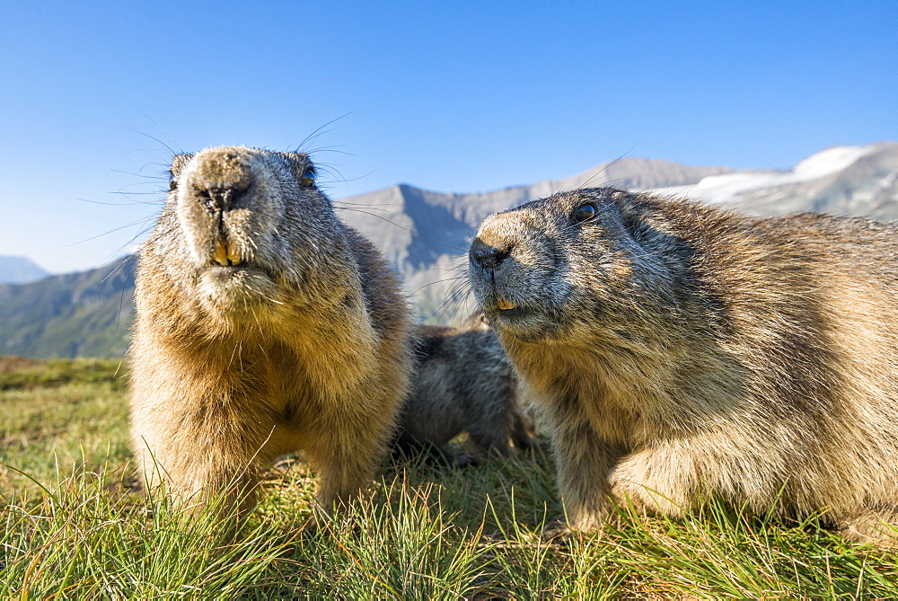 Alpine marmot ( Marmota marmota), curious, Wideangle, National Park Hohe Tauern, Austria