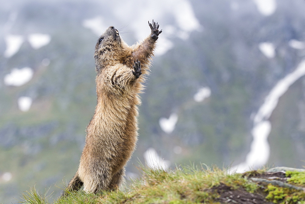 Alpine marmot ( Marmota marmota), standing, National Park Hohe Tauern, Austria