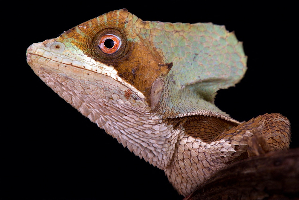 Casque-headed lizard (Corytophanes hernandezii)