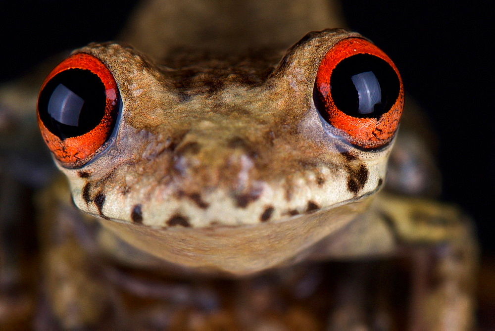Lowland tropical dwarf bullfrog (Leptodactylus andreae)