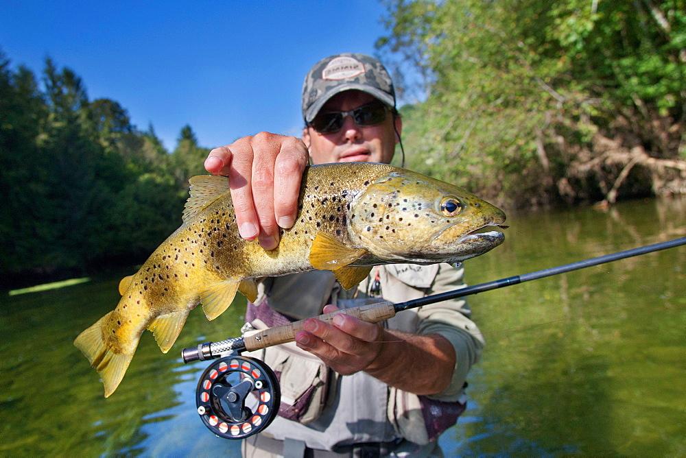 Fly fishing on the Loue river, Presentation of a wild trout (Salmo trutta fario), Franche-Comté, France