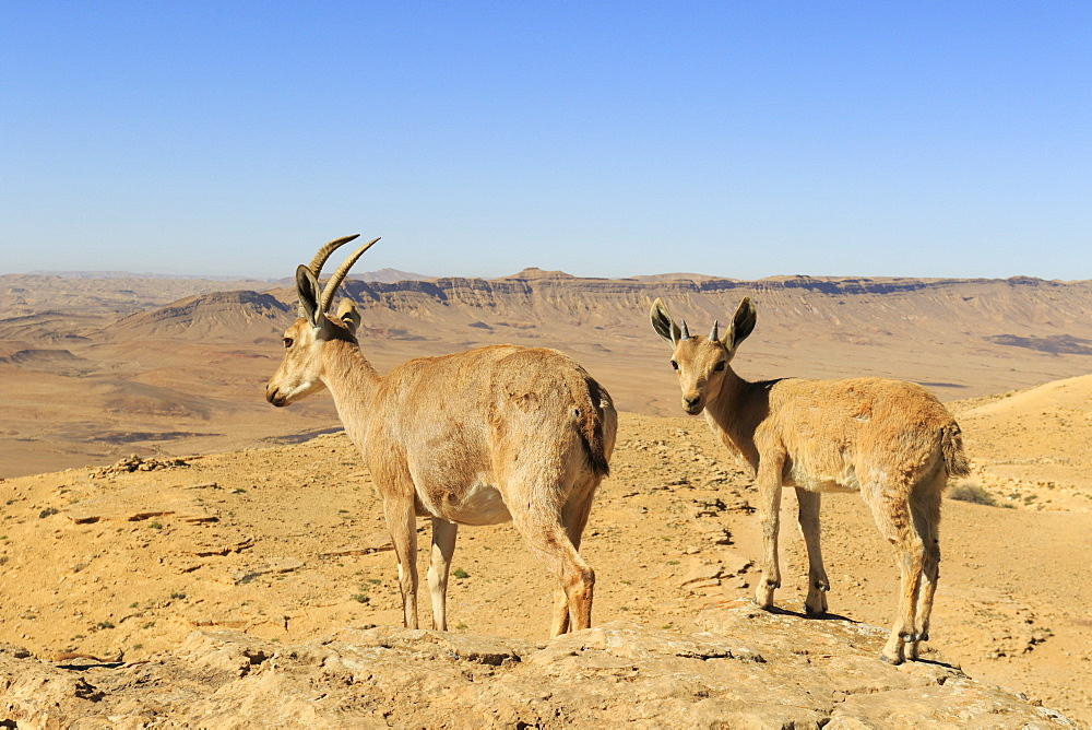 Nubian ibex (Capra nubiana) female and young in the Negev desert, Israel