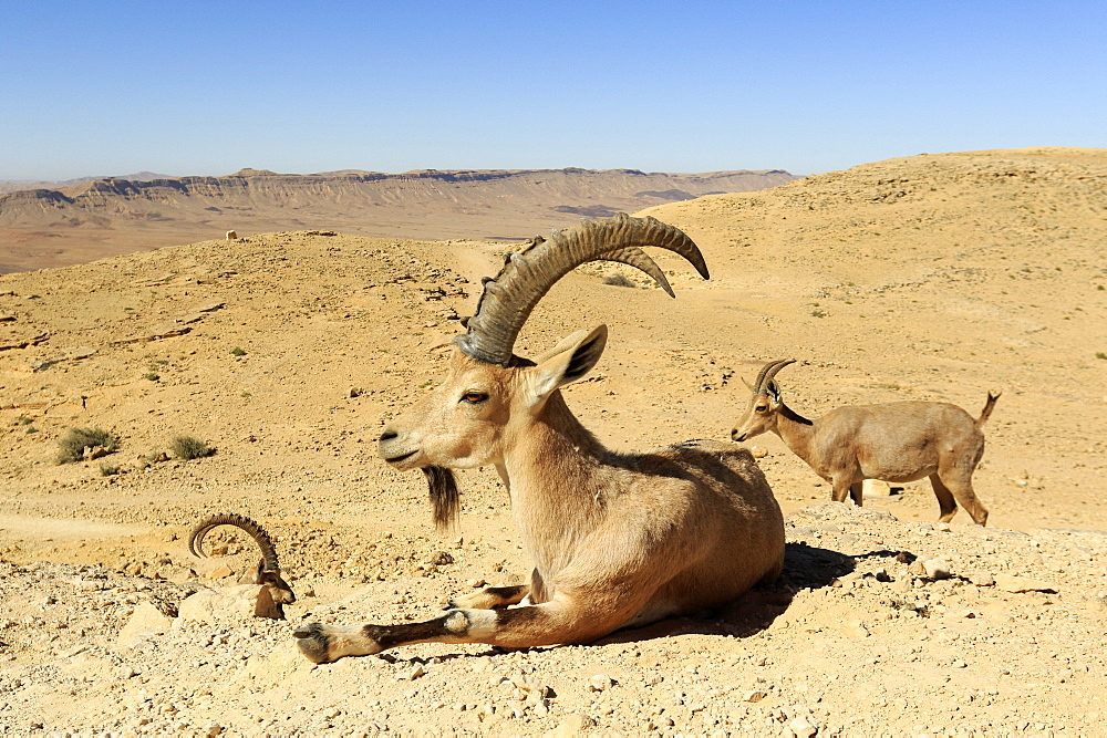 Nubian ibex (Capra nubiana) males and female in the Negev desert, Israel