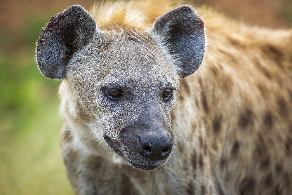 Spotted hyaena (Crocuta crocuta) portrait in Kruger National park, South Africa
