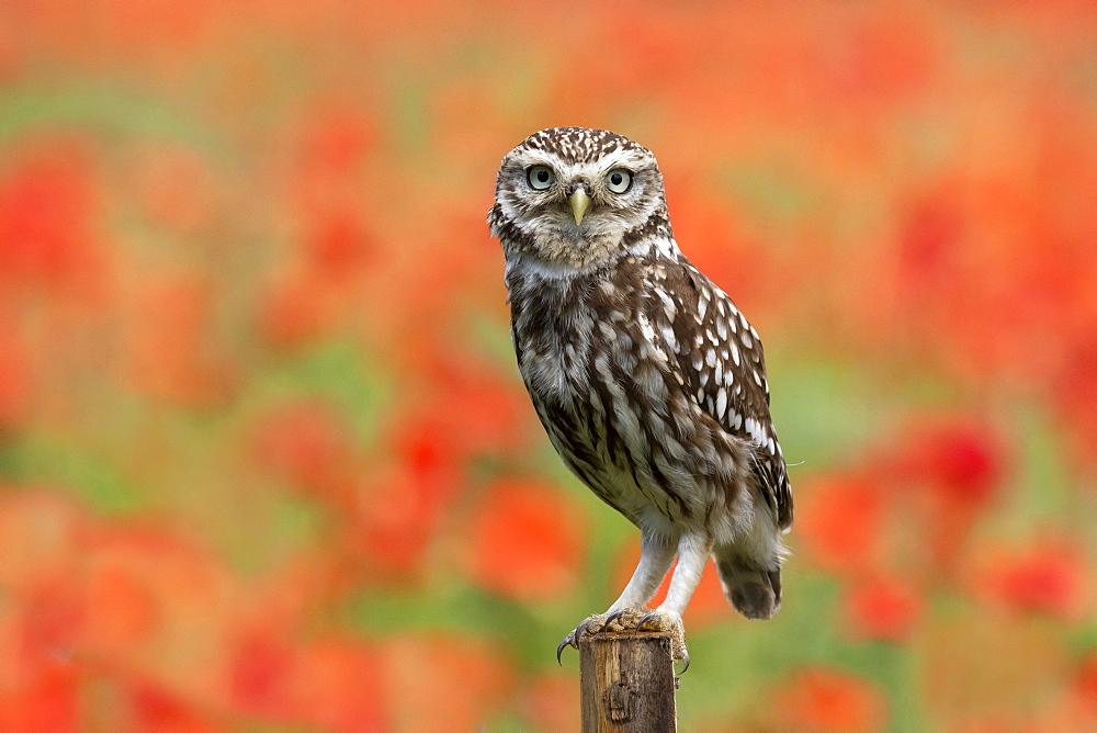 Little owl (Athena noctua) perched on a post amongst poppys, England