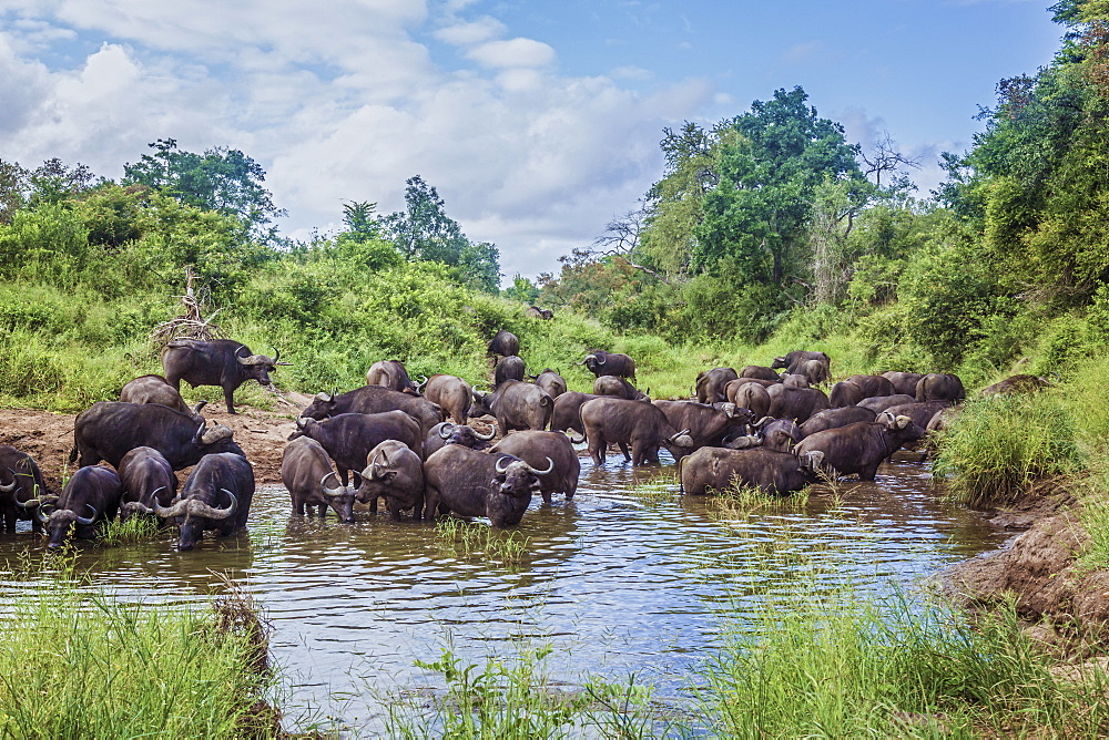 Herd of African buffalo (Syncerus caffer) bathing and drinking in Kruger National park, South Africa