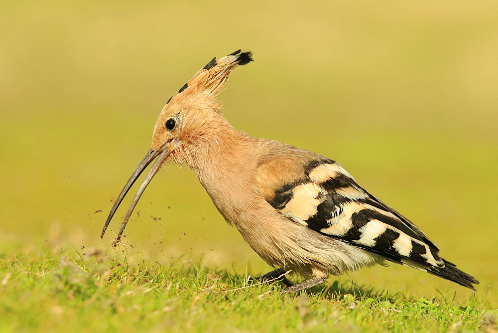Hoopoe (Upupa epops) looking for food, Israel