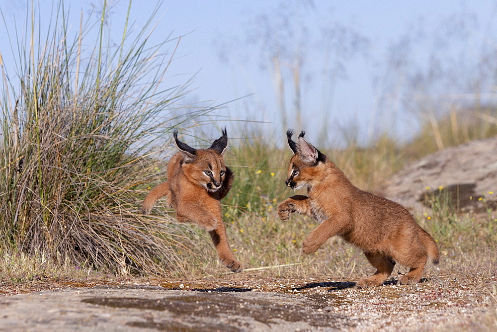 Caracal (Caracal caracal) , Occurs in Africa and Asia, Young animals 9 weeks old, in the grass, Captive.