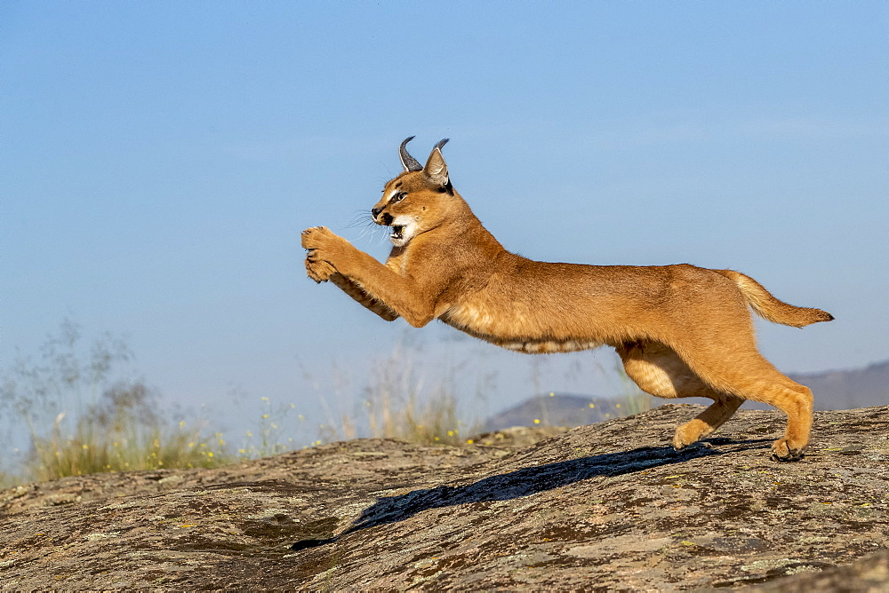 Caracal (Caracal caracal) , Occurs in Africa and Asia, Adult animal, Male, Jumping, Captive.