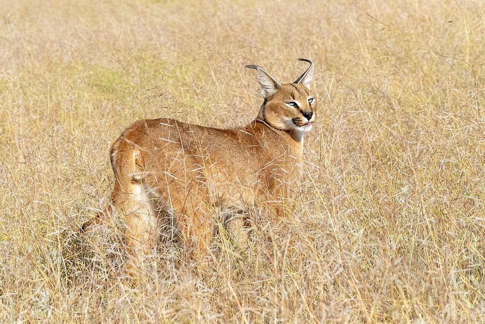 Caracal (Caracal caracal) , Occurs in Africa and Asia, Adult animal, Male, Walking in savanah, Captive.