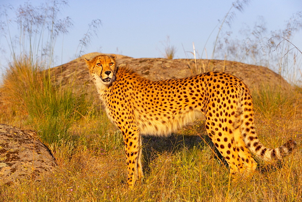Cheetah (Acinonyx jubatus), occurs in Africa, walking in savanah, captive