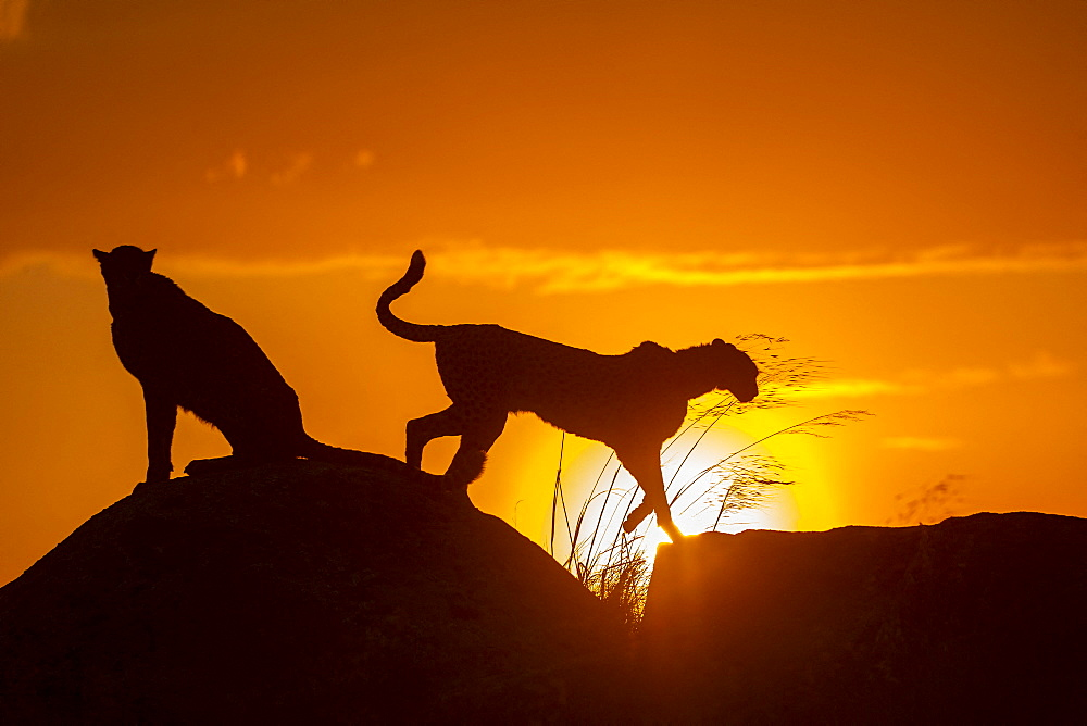 Cheetah (Acinonyx jubatus), occurs in Africa, two adults at sunset, captive