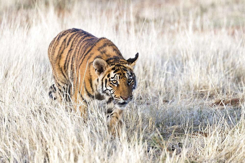 Asian (Bengal) Tiger (Panthera tigris tigris),young 6 months old, walking, Private reserve, South Africa