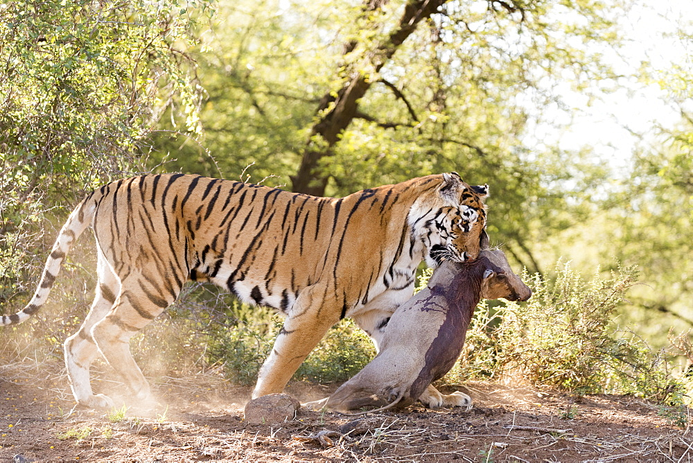 Asian (Bengal) Tiger (Panthera tigris tigris), female adult with a prey , Common warthog (Phacochoerus africanus), Private reserve, South Africa