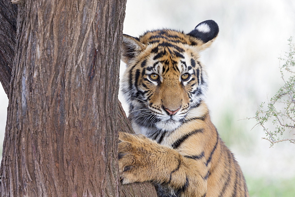 Asian (Bengal) Tiger (Panthera tigris tigris),young 6 months old, resting, Private reserve, South Africa