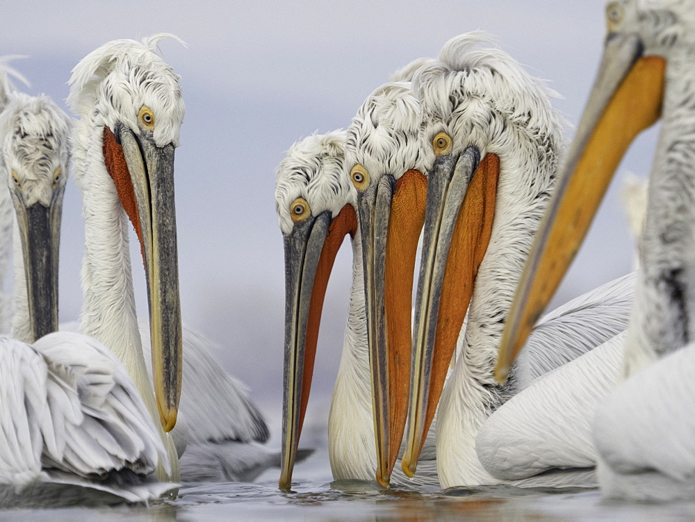 A pod of Dalmatian Pelicans (Pelecanus crispus), fishing on Lake Kerkini, Greece.