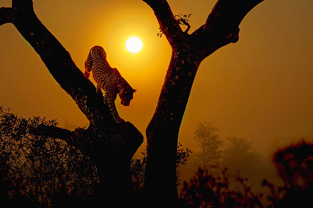 Leopard (Panthera pardus) get down a tree at sunrise in Kruger National park, South Africa ; Specie
