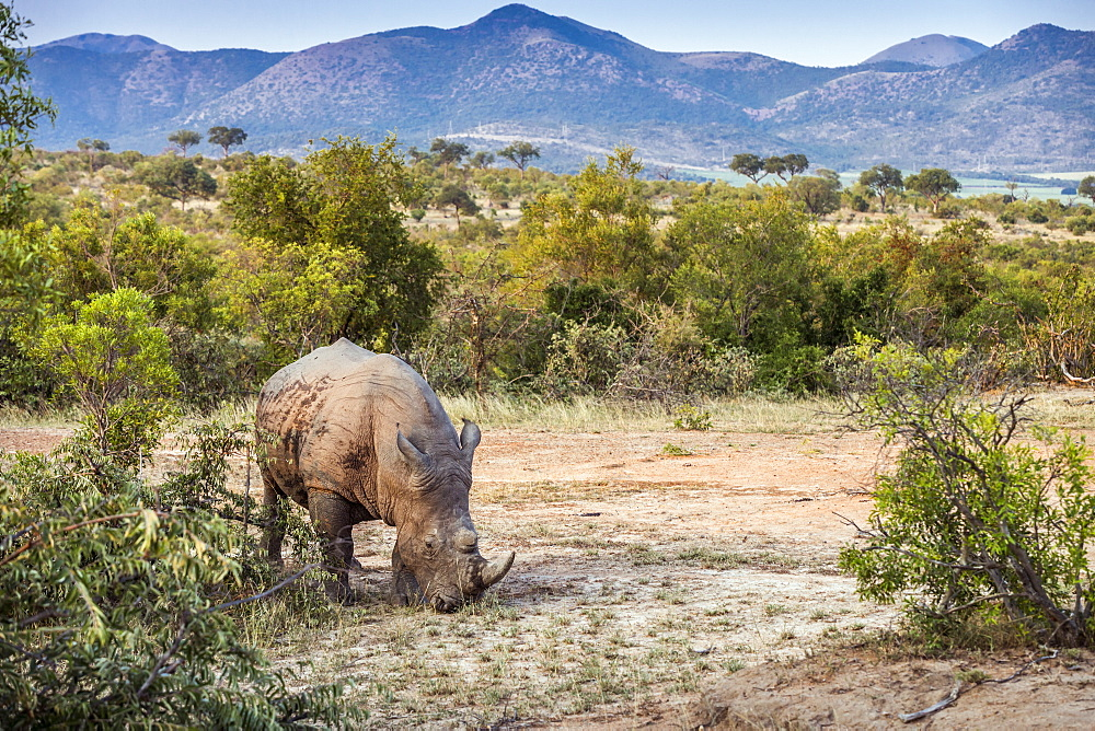 Southern white rhinoceros (Ceratotherium simum simum) in nice scenery in Kruger National park, South Africa