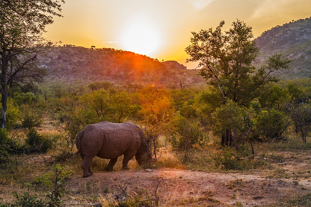 Southern white rhinoceros (Ceratotherium simum simum) grazing in sunset in Kruger National park, South Africa