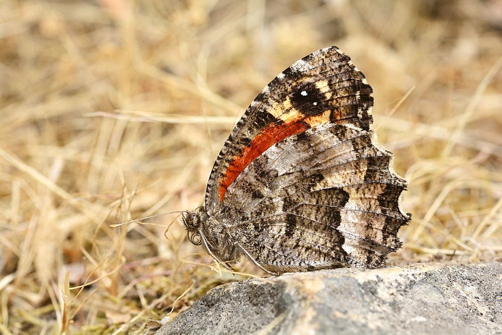 Satírido Grande del Matorral (Elina Montroli), Cajon Grande Sector, La Campana National Park, Coastal Range, V Valparaiso Region, Chile