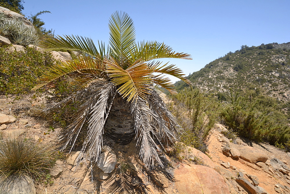 Chilean Palm (Jubaea chilensis), young tree in its natural environment, Portezuelo de Ocoa to Las Palmas, National Park La Campana, V Region of Valparaiso, Chile