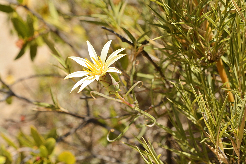 Clavel del campo amarillo (Mutisia rosea), Asteraceae endemic to central Chile, Portezuelo de Ocoa to Las Palmas, National Park La Campana, V Region of Valparaiso, Chile