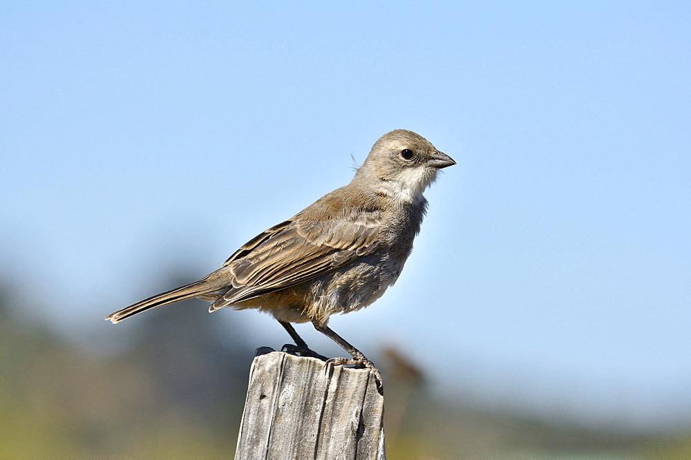 Common Diuca Finch (Diuca diuca), Cobquecura, VIII région du Biobío, Chili