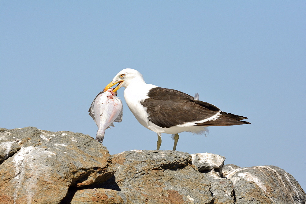 Kelp Gull (Larus dominicanus), adult having recovered a fish, Cobquecura, VIII Region of Biobío, Chile