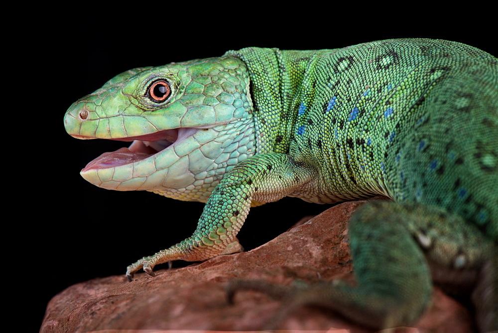 Algerian ocellated lizard (Timon pater)