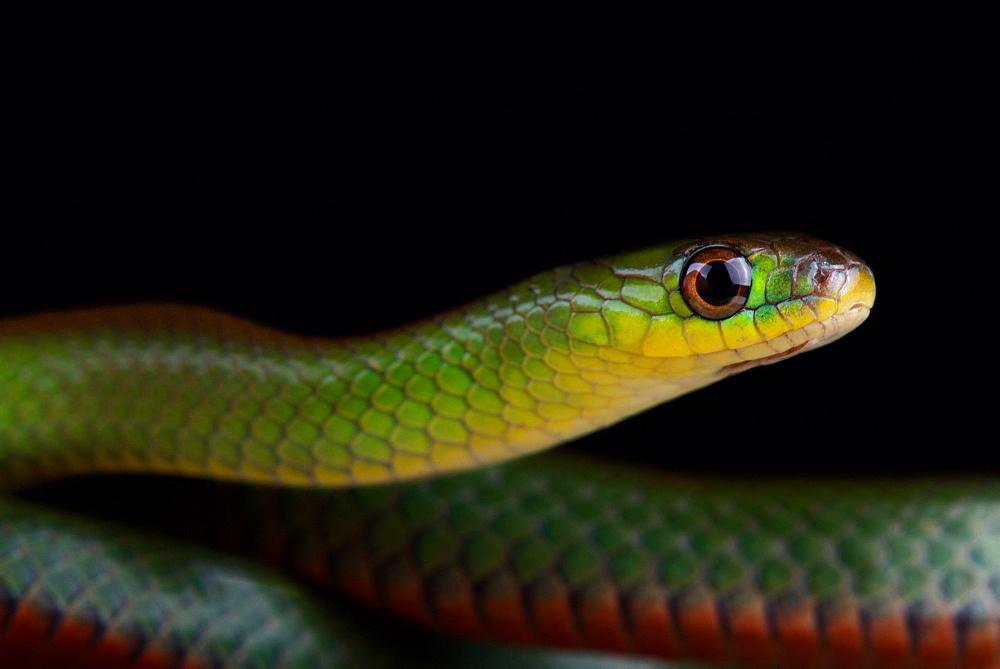 Green red-bellied snake (Erythrolamprus jaegeri)