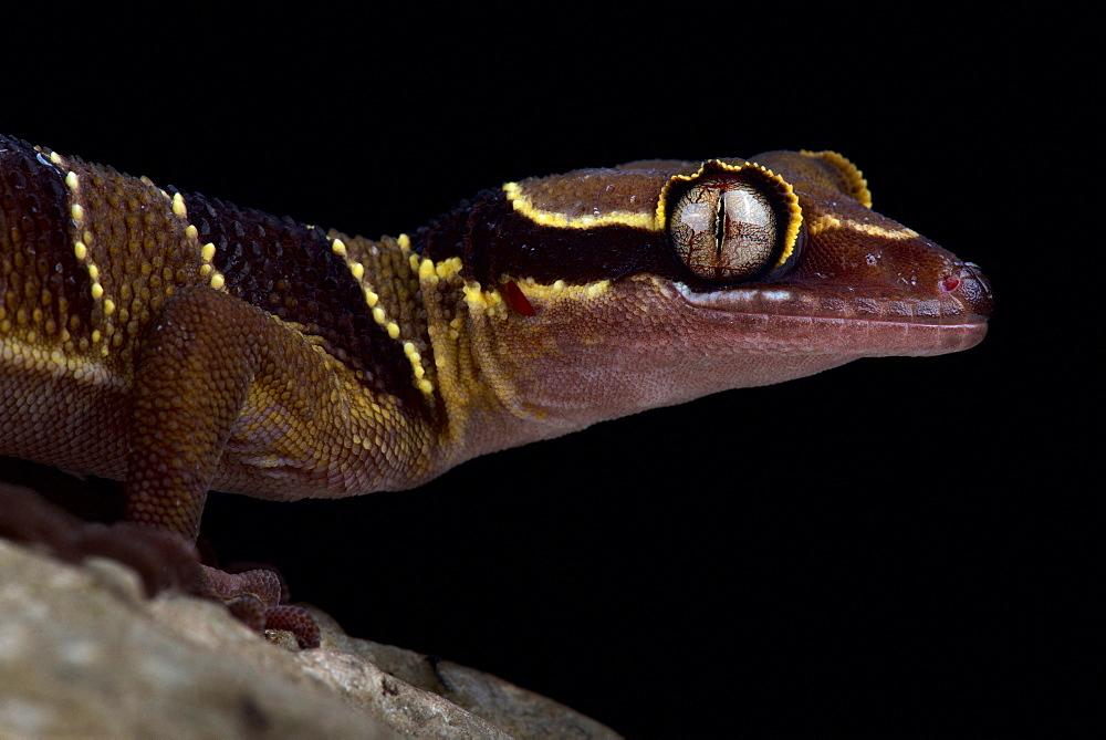 Malayan forest gecko (Cyrtodactylus pulchellus)