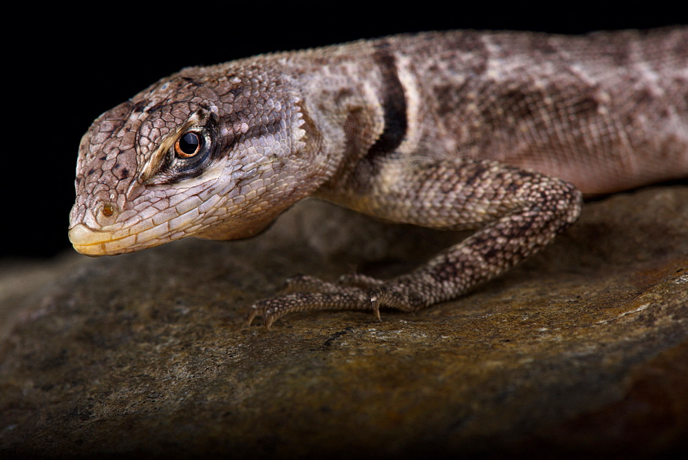 Peters' Lava Lizard (Tropidurus hispidus)