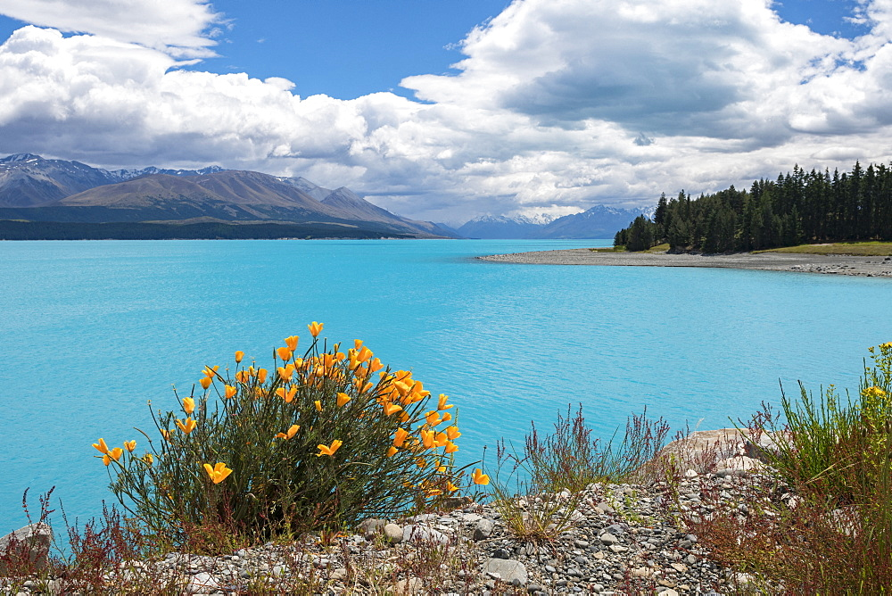 Lake Pukaki, flowers on the shore, South Island, New Zealand