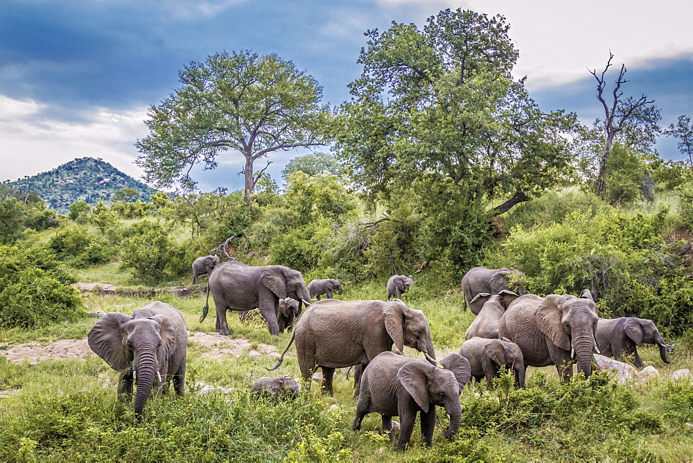 African bush elephant (Loxodonta africana) herd in green savannah in Kruger National park, South Africa