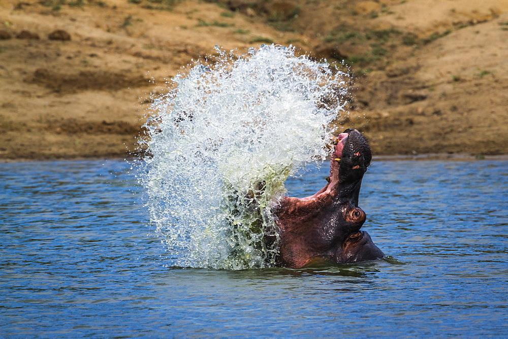 Hippopotamus (Hippopotamus amphibius) splashing with open mouth in Kruger National park, South Africa - 860-288521