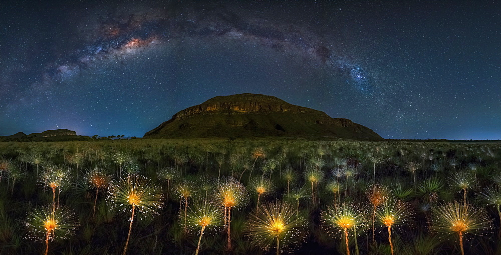 Paepalanthus Wildflowers at night