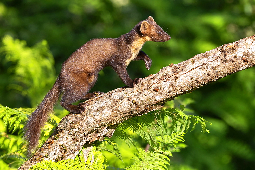 Pine Marten (Martes martes), side view of an adult male walking on an old trunk