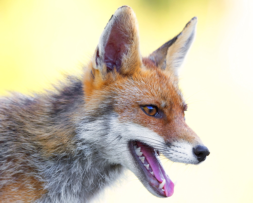 Red Fox (Vulpes vulpes), adult male close-up, Campania, Italy