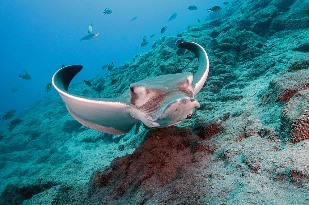 Bull Ray (Aetomylaeus bovinus), Tenerife, Canary Islands, Spain